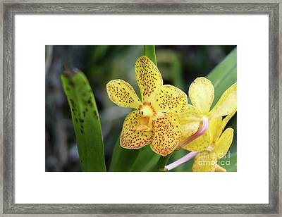Yellow Spotted Orchids Framed Print