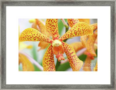 Yellow Spotted Spider Orchids Framed Print
