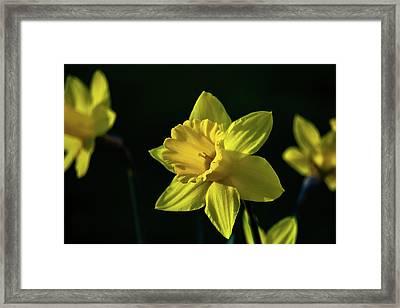 Yellow Spring Daffodils Framed Print
