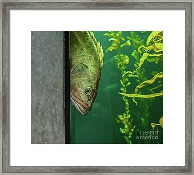 Yellowtail Rockfish Playing Peekaboo Framed Print