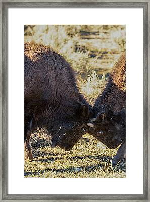 Framed Print featuring the photograph Young Bison by Pete Federico
