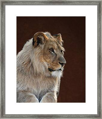 Framed Print featuring the photograph Young Male Lion Portrait by Debi Dalio