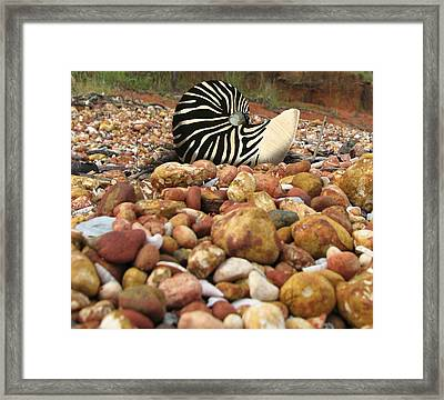 Zebra Nautilus Shell On Bauxite Beach Framed Print