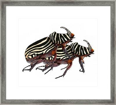 Zebra Pattern Rhinoceros Beetle 2 Framed Print