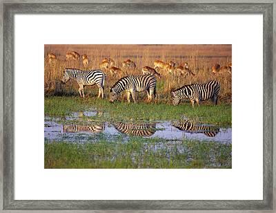 Zebras In Botswana Framed Print