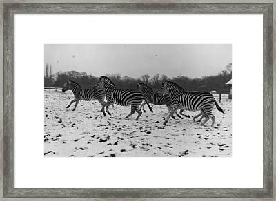 Zebras In The Snow Framed Print by Fox Photos