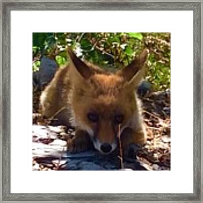 Fox Joy Framed Print by Colette V Hera Guggenheim