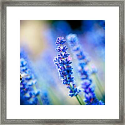 Lavander Flowers With Bee In Lavender Field Artmif Framed Print by Raimond Klavins