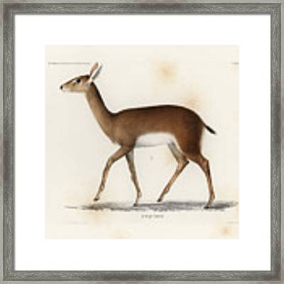 Oribi, A Small African Antelope Framed Print by J D L Franz Wagner