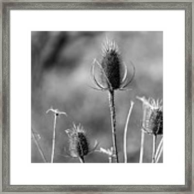 Simply Thistle Framed Print by Rick Morgan