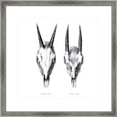 Skulls Of The Common Duiker And Oribi Framed Print by J D L Franz Wagner