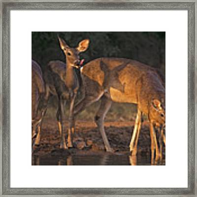 Whitetail Deer At Waterhole Texas Framed Print by Dave Welling