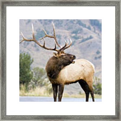 Bull Elk Framed Print by Wesley Aston