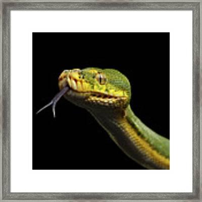 Green Tree Python. Morelia Viridis. Isolated Black Background Framed Print by Sergey Taran