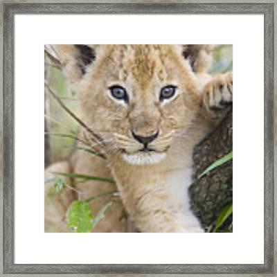 African Lion Cub Kenya Framed Print by Suzi Eszterhas