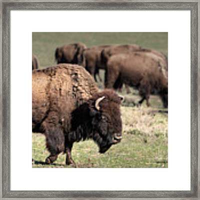 American Bison 5 Framed Print by James Sage