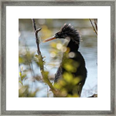 Anhinga 3 March 2018 Framed Print by D K Wall