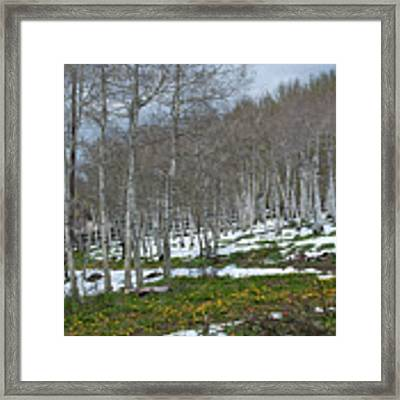 Approaching Spring In The Aspen Forest Framed Print by Cascade Colors
