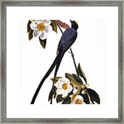 Audubon Flycatcher, 1827 Framed Print by John James Audubon