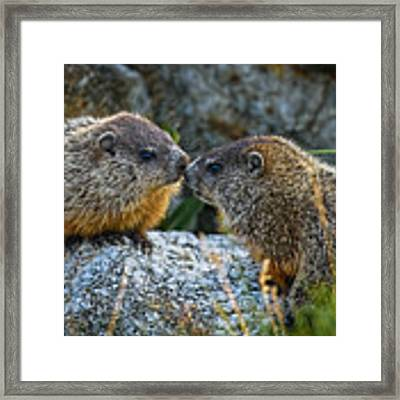 Baby Groundhogs Kissing Framed Print by Bob Orsillo