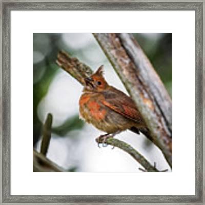 Baby Northern Cardinal Framed Print by Bob Orsillo