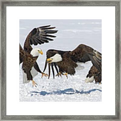 Bald Eagle's Framed Print by Wesley Aston