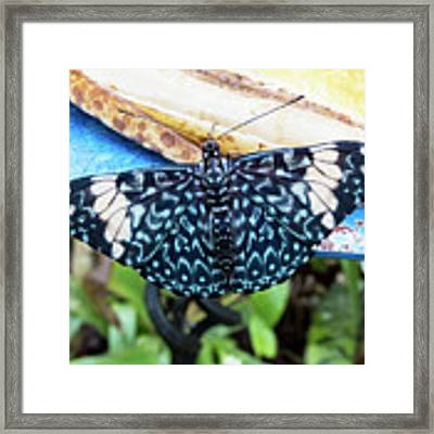 Beautiful Blue And White Butterfly Framed Print by Bob Slitzan