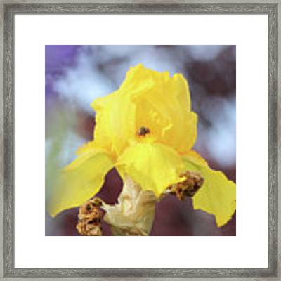 Bee In An Iris Bloom Framed Print by Ann E Robson