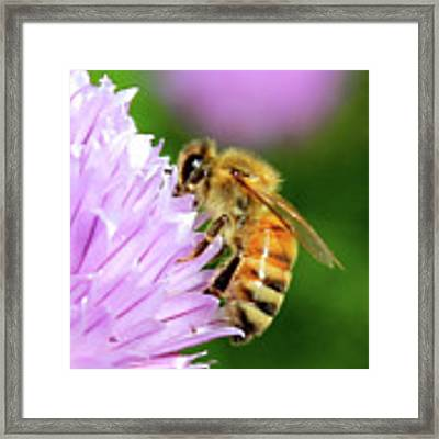 Bee On Chive Flower Framed Print by Ann E Robson