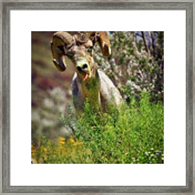 Bighorn Sheep And Wildflowers In Anza Borrego Desert State Park Framed Print by Sam Antonio Photography