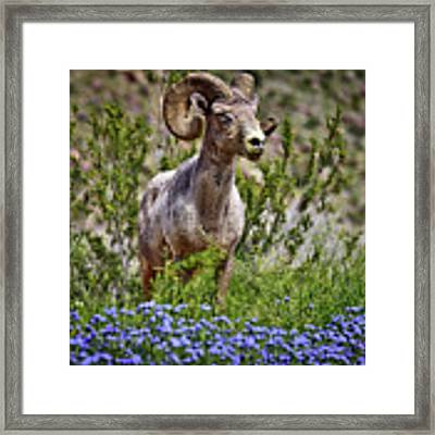 Blooms And Bighorn In Anza Borrego Desert State Park  Framed Print by Sam Antonio Photography