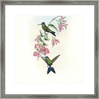 Blue-capped Puffleg Hummingbird Eriocnemis Glaucopoides Framed Print by John and Elizabeth Gould