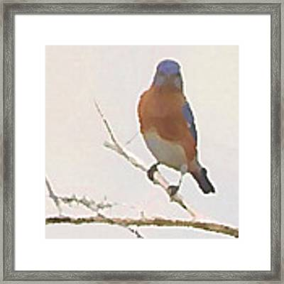 Bluebird Stare  Framed Print by Shelli Fitzpatrick