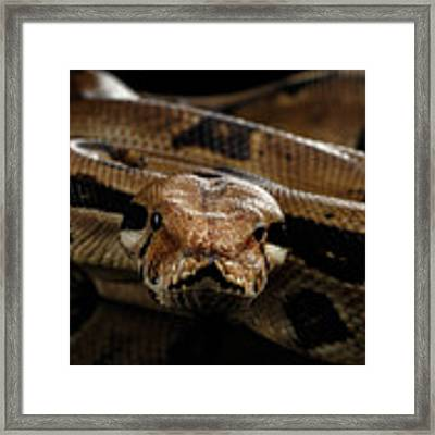 Boa Constrictor Imperator Color, On Isolated Black Background Framed Print by Sergey Taran