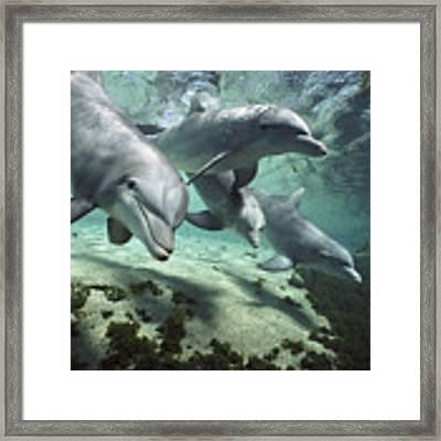 Four Bottlenose Dolphins Hawaii Framed Print by Flip Nicklin
