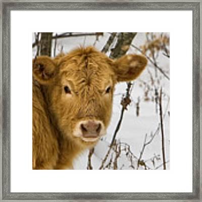 Brown Cow Framed Print by Ken Barrett