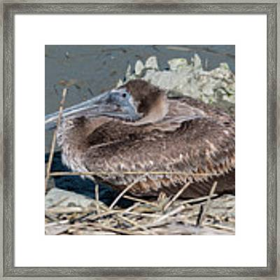 Brown Pelican 3 March 2018 Framed Print by D K Wall