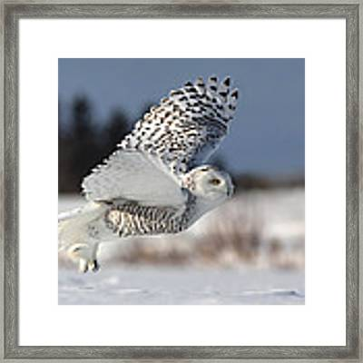 Bubo Scandiacus Framed Print by Mircea Costina