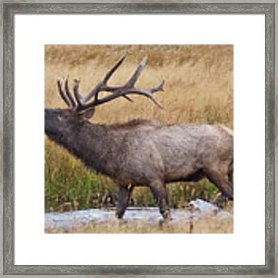 Bull Elk In Yellowstone Framed Print by Wesley Aston