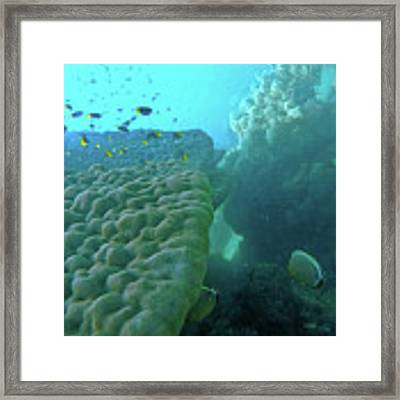 Butterfly Fish  Framed Print by Debbie Cundy
