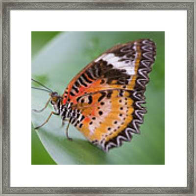 Butterfly On The Edge Of Leaf Framed Print by John Wadleigh