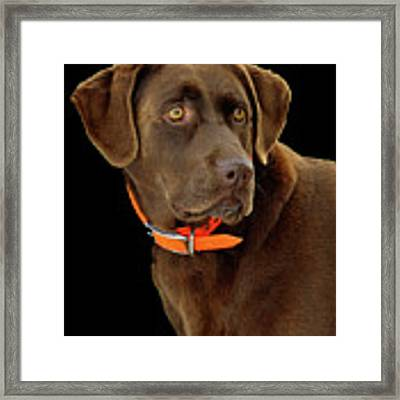 Chocolate Lab Framed Print by William Jobes