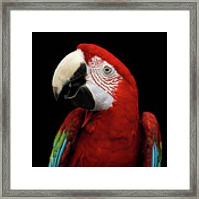 Close-up Funny Portrait Green-winged Macaw, Ara Chloroptera, Isolated Black Background Framed Print by Sergey Taran