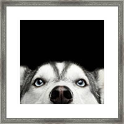 Close-up Head Of Peeking Siberian Husky Framed Print by Sergey Taran