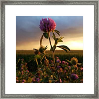 Clover At Sunset Framed Print by Viviana Nadowski