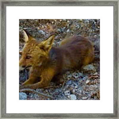 Cute Fox Friend  Framed Print by Colette V Hera Guggenheim