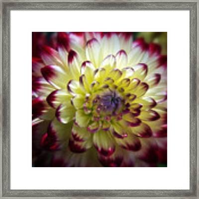 Dahlia Fine Art Photograph Framed Print by Gigi Ebert