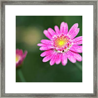 Daisy Flower Framed Print by Pradeep Raja Prints