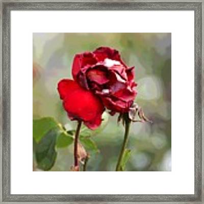 December Rose #12 Framed Print by Brian Gryphon