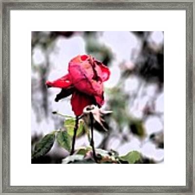 December Rose #16 Framed Print by Brian Gryphon